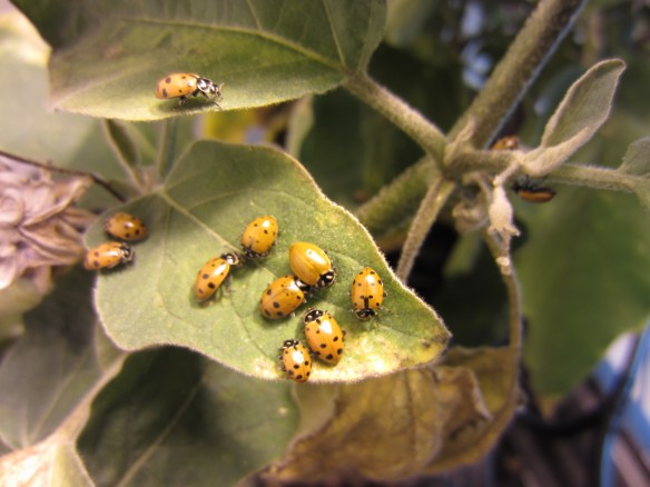 Atlantis Hydroponics Hydroponic Grow Room Ladybug Pest Control Aphids Thrips Plant Leaf
