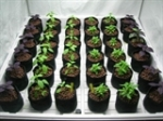 Hydroponic Basil Seedlings in a Grow Room Grow Tent