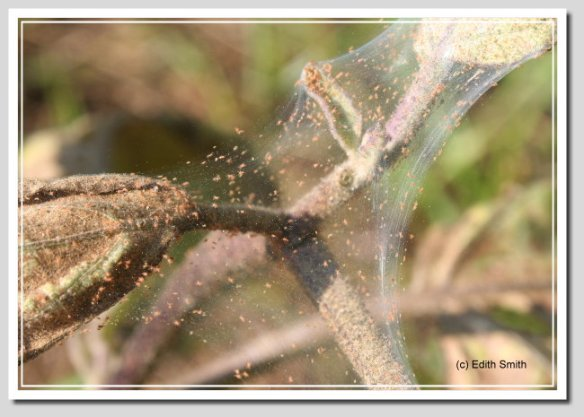 Spidermite webbing and mites on heavily infested tomato plant.