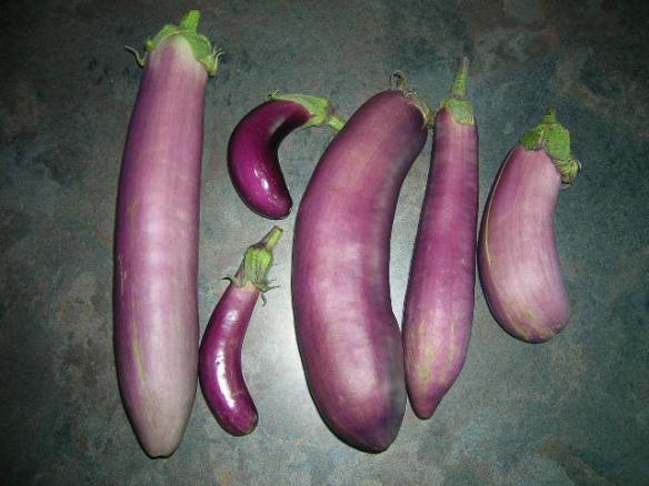 Hydroponic Eggplants