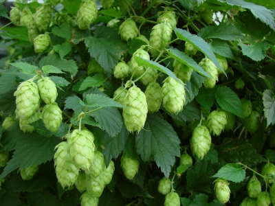 Hop Cones on Vine