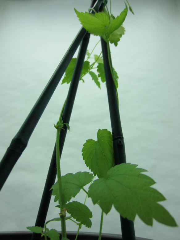 Young Hops Bine Climbing Support