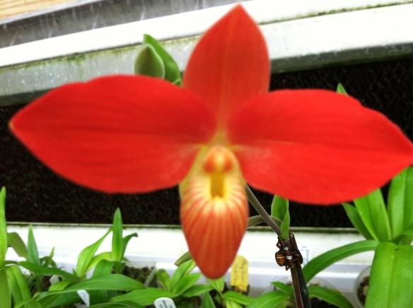 Phragmipedium besseae (red form)