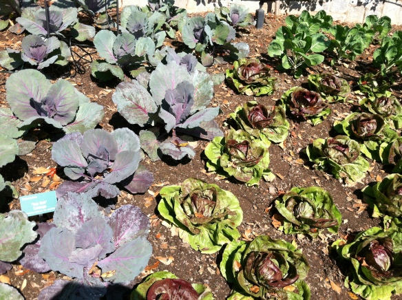 Colorful Cabbage at the ABG