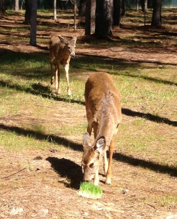 Deer Eating Barley Fodder
