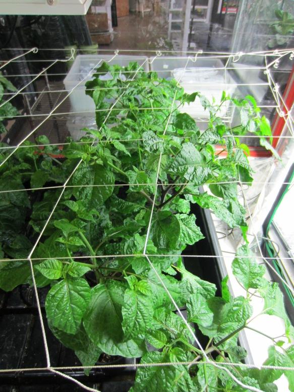 GH Plants