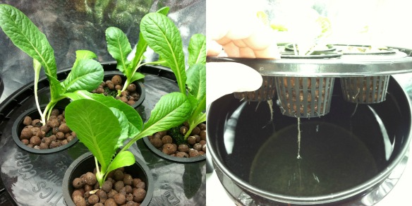 Kratky Hydroponic System 1 Week After Planting