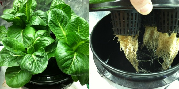 Kratky Hydroponic System 4 Weeks After Planting