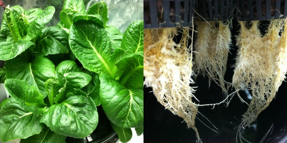 Kratky Hydroponic System 5 Weeks After Planting
